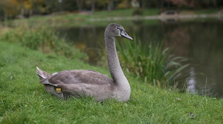 Grey Swan lying on the grass near the pond. Stock Footage
