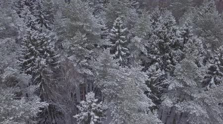 ural : Aerial footage of snowy trees and spruces in forest.