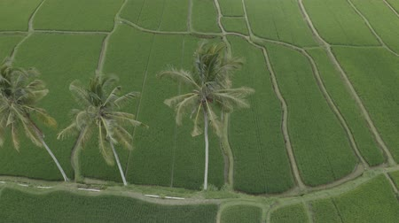 南の : Aerial view of three palm trees in green rice terraces Tegallalang, Bali, Indonesia. Drone fly over palm trees.