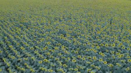 d day : Aerial shot footage of Sunflower field at summer sunset. Sunflower field from drone. Nature, flowers, plants. Drone flight over sunflower field. D-log.