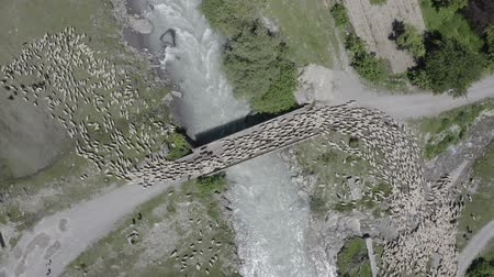 hamlet : Aerial Top down view of large flock of sheep going on the bridge over the mountainous river in Georgia. Shepherd grazing sheep. Sheep and rams pushing on bridge.
