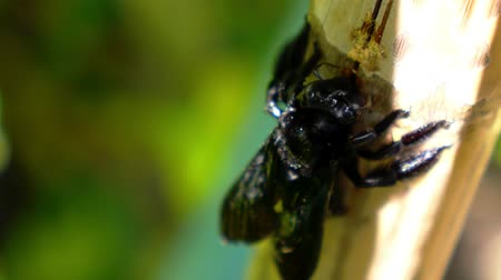 violacea : Black Carpenter Bee Eating Bamboo. Exotic Thailand. Sunny Koh Samui. Insect Life. Close up. Macro.