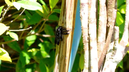 xylocopa violacea : Black Bee Crunching Bamboo. Flora and Fauna of Exotic Thailand. Close up. Stock Footage