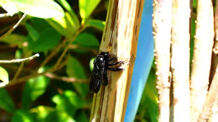 xylocopa violacea : Black Carpenter Bee Species Xylocopa Violacea Eating Bamboo Tree in Sunny Summer Day Stock Footage