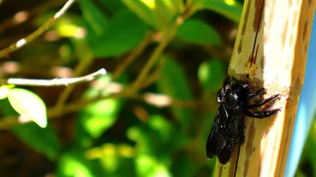 xylocopa violacea : Big Black Bug Gnawing a Bamboo Tree during Sunny Summer Day and against Green Filiage.