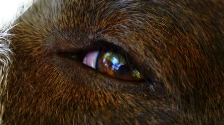 homesick : Beautiful Eye of a Cute Dog. Close up. Macro. Reflection of a Man in the Purest and Kindest Eyes in the World.