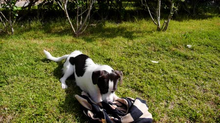 vicces : Cute Laughable Dog Playing and Having Fun on Grass in Summerday. Funny Play with Traveling Rug.