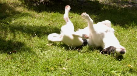wallow : Funny Cute Puppy Wallowing on the Grass. Slow Motion. HD, 1920x1080. Stock Footage