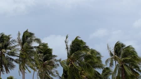 coconut palm tree : Palms at Hurricane. Bad Windy Weather in Tropics. Thailand. Koh Samui. HD, 1920x1080.