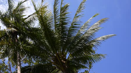 coconut palm tree : Coconut Palm Trees against Blue Sky. Slow Motion. HD, 1920x1080.