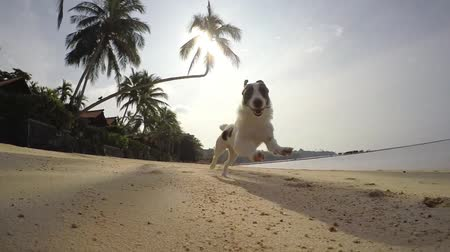 hunting dog : Happy Free Dog Running on the Beach. Slow Motion. HD, 1920x1080.