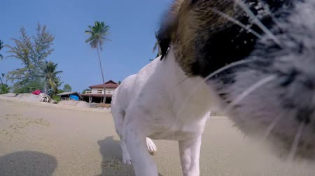 терьер : Jack Russel Terrier Beach Puppy Running on Beach. Slow Motion. HD, 1920x1080. Стоковые видеозаписи