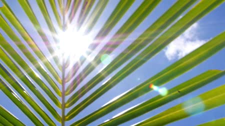 coconut palm tree : Tropical Palm Tree Leaf in Blue Sunny Sky. HD, 1920x1080. Stock Footage