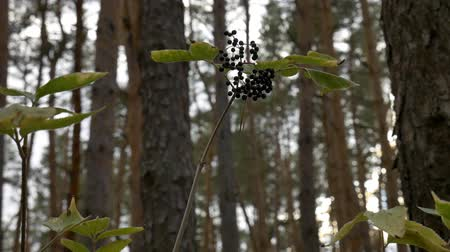 mürver : The elderberry in the forest.
