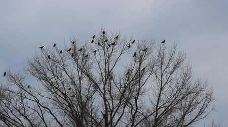 птица : Crows on tree Стоковые видеозаписи