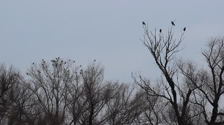 bird family : Black crows sitting in a tree