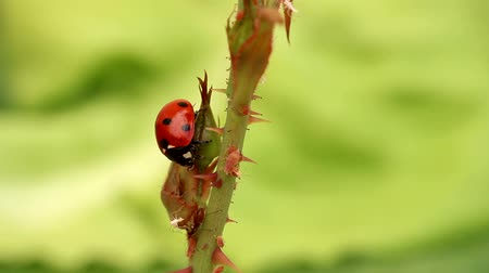 joaninha : Ladybird attacking aphids on the endagered plant Stock Footage