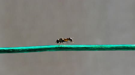 hoverfly : Insect on the wire clean your body Stock Footage