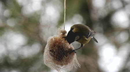 ave canora : Feeding birds in winter.Eurasian  Great Tit feeding on a  fat ball