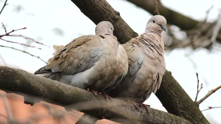 ornitologie : A pair of Eurasian collared dove (Streptopelia decaocto) arranges feathers on the edge of the tree