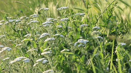 uncultivated field : White Yarrow -Achillea Millefolium. Medical herb yarrow on a meadow in spring