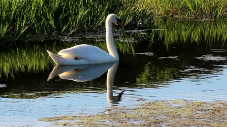afloat : Swan reflections.Mute swan,Cygnus olor, floating on a pond