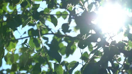 bétula : Bright sunlight through the green foliage of the birch. Slow motion in canopies of trees with fragments of the sky