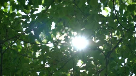 raios de sol : Bright sunlight through the green foliage of the apple tree. Slow motion in the canopies of trees Stock Footage