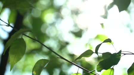 odstín : Camera changing focus in the shade trees. Bright warm summer sunny green background with bokeh and glares