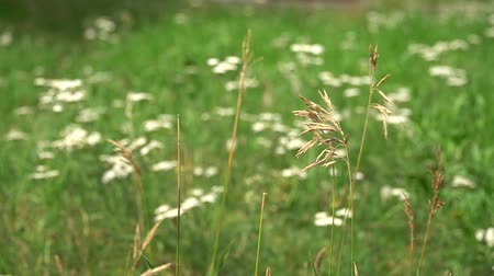 usual : Ordinary ears of grass on green meadow or garden background. HD footage video Stock Footage