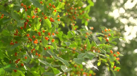 floriculture : Lonicera tatarica honeysuckle shrub with orange berries on wind. Green bush against sunny bokeh in trees. HD footage Stock Footage