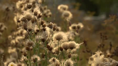 sepya : Fuzz of overripe thistle. Overripe fuzzy weed buds in light of setting sun