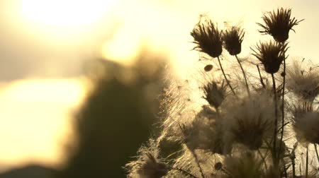 cardo : Fuzz of overripe thistle. Overripe fuzzy weed buds in light of setting sun. HD footage slowmotion video
