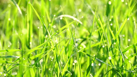 rendes : Beautiful background of green summer grass with dew at sunrise. Calmness and freshness, cleanliness and ecology. 4K