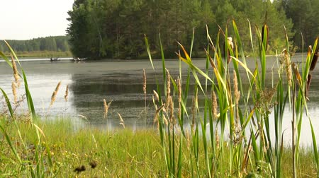 Summer sultry noon on shore of forest lake. Green reeds sway in wind close up. Calm summer landscape. HD slowmo video