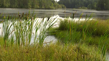 meio dia : Summer sultry noon on shore of forest lake. Green reeds sway in wind. Calm summer landscape. 4K video Vídeos