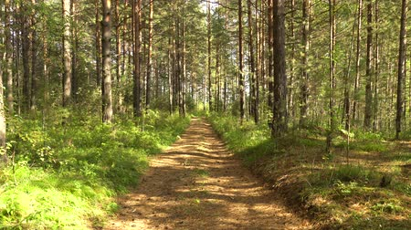 полдень : Trail in pine forest. Calm summer landscape. Summer sunny day in forest. Play of light and shadow. 4K video
