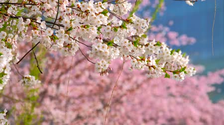 oriental cherry tree : Blooming sakura cherry blossom