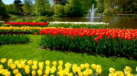 tulipan : Keukenhof flower garden. Lisse, the Netherlands.