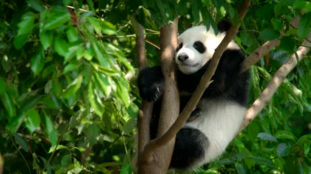 endangered species : Giant panda bear cub on a tree