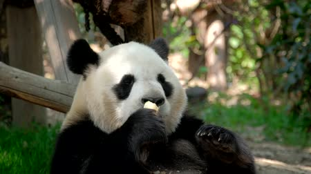 endangered species : Giant panda bear eating bamboo
