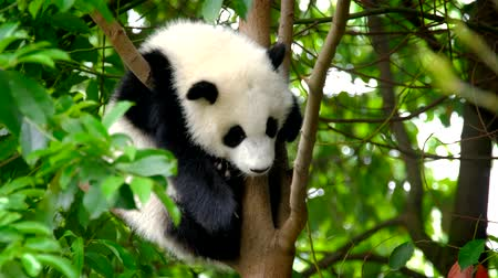 welpje : Giant panda bear cub on a tree