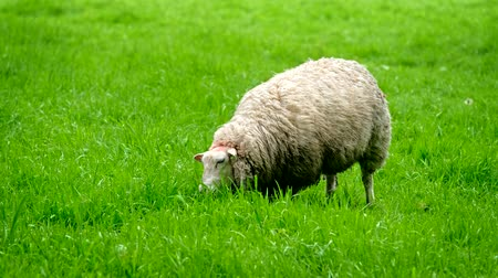 pastar : Sheep gazing on meadow