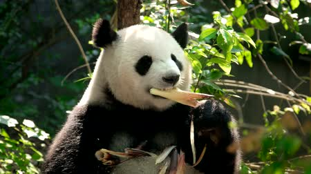 パンダ : Giant panda bear eating bamboo