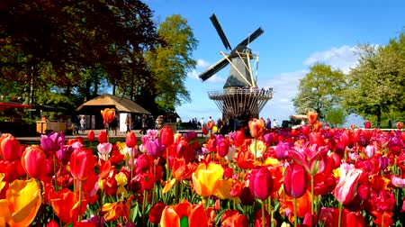 крупные планы : Blooming tulips flowerbed and windmill in Keukenhof flower garde