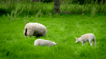 pastar : Sheep with lambs grazing