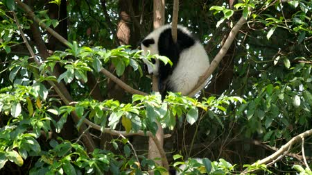 espécies : Giant panda bear cub on a tree