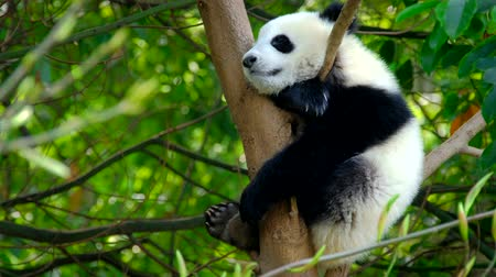 gigante : Giant panda bear cub on a tree