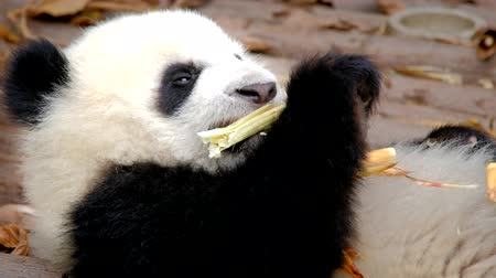 gigante : Giant panda bear eating bamboo