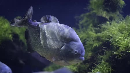 agresif : Red-bellied piranha (red piranha)